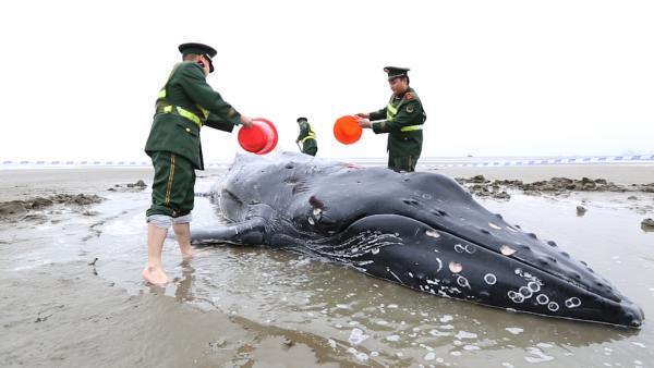 7米长座头鲸搁浅启东海滩:浑身伤口