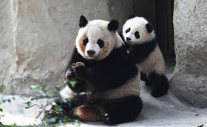 大熊猫国家公园时间表出来了:2020年底前正式设立