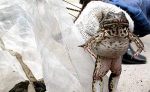 武汉男子抓3只青蛙被判拘役:经鉴定实为二级保护动物虎纹蛙