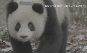 """大熊猫""""倩倩""""已自主采食:系野化培训"""