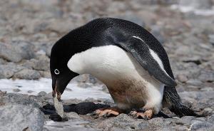 企鹅何时登陆东南极?中国科学家在59厘米企鹅粪土中找答案