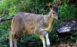 宁夏近十年最大盗猎案:12只国家一级保护动物林麝被杀害