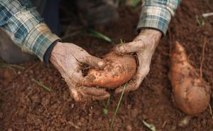 红薯起源之谜:百万年前已被天然转基因
