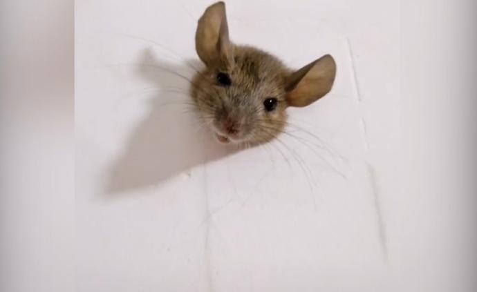 老鼠因肥胖卡进墙洞出不来